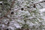 pinetree